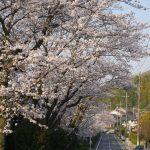 サンディスク通りの桜