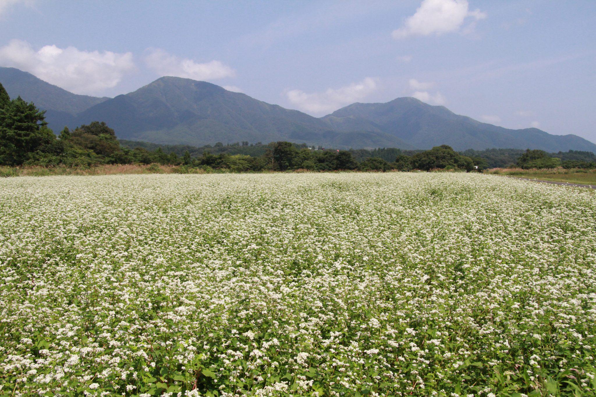 蒜山三座と満開のそばの花
