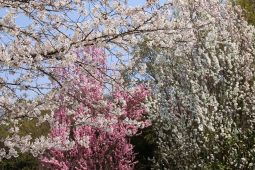 満開の華桃と桜の下でお花見(中ノ原)
