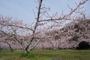 岡山を代表する白桃(清水白桃)畑