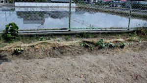 フェンス際にも1畝