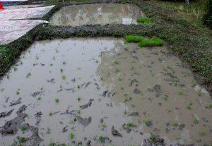 稲田の向うで園児が足洗い