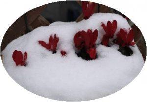 雪から顔を出したガーデンシクラメン