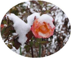 雪が重いよ~ バラ