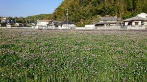 一面のゲンゲ(レンゲ)畑