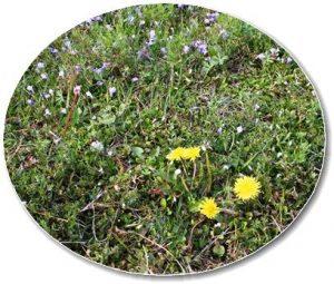 畦に咲くタンポポとムラサキサギゴケ