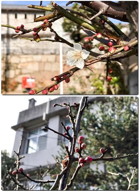 内山下小学校周辺の早咲き梅