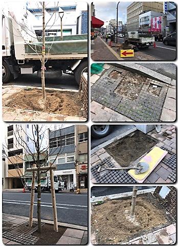 県庁通りのハナミズキが植替え