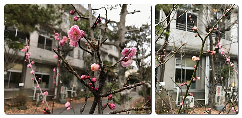 内山下小学校の梅開花