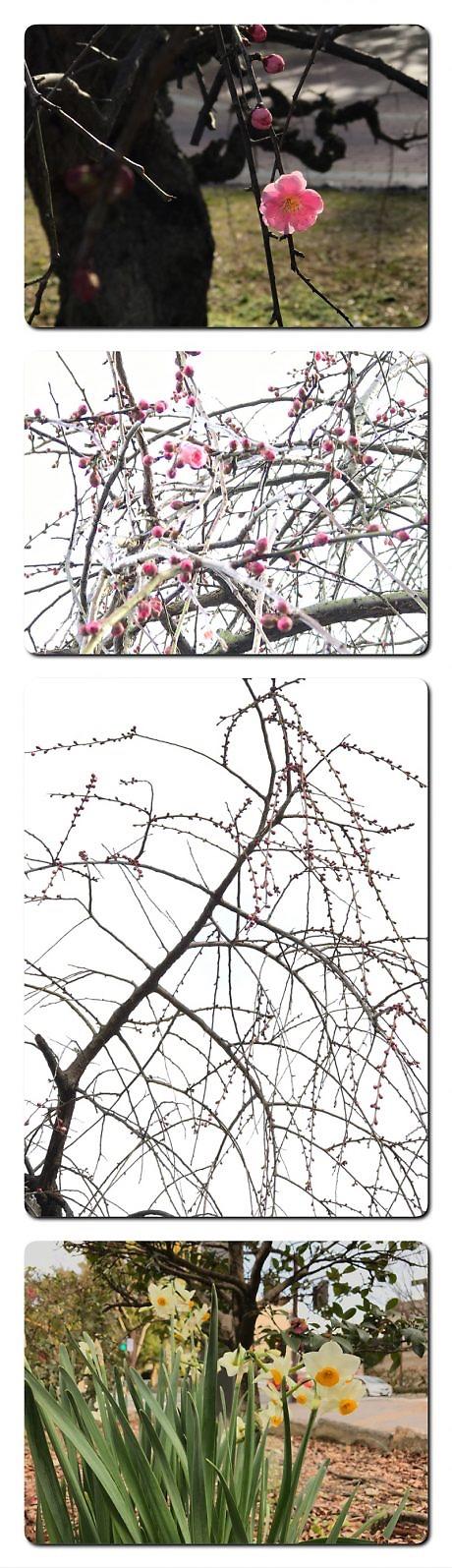 石山公園の枝垂れ梅つぼみ膨らむ