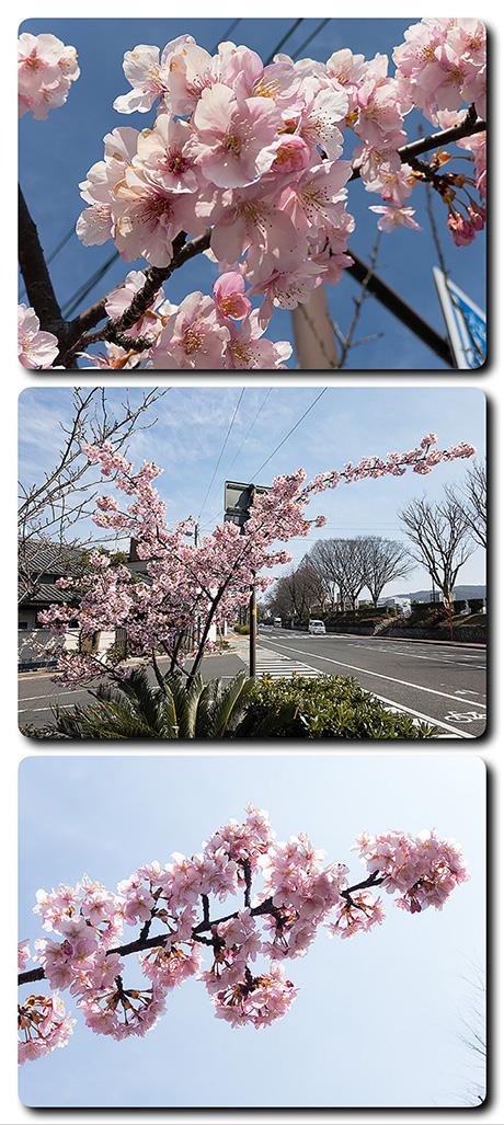 水の手二丁目で桜が満開