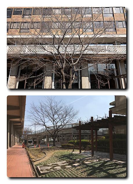 県庁の醍醐桜の様子